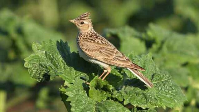 Lark about for dawn chorus