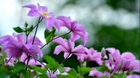 Popularity of climbers like clematis scales new heights