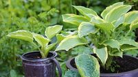 Hosta la vista: Plants that make the most of shady spots