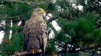 Eagles are the jewel in Glengarriff's glittering crown