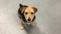 Do you know this dog? Irish rail ask for help finding owners of pup found on Kildare tracks
