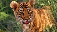 World Tiger Day: A century ago there were 100,000 tigers. Now there are just 3,900