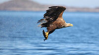 Aonghus the white-tailed sea eagle has fans intrigued
