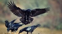 Put-upon ravens harangued by the noisy neighbours