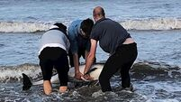 Watch: Group of friends rescue stranded dolphin in Meath