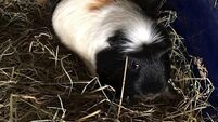 ISPCA seek foster carers after guinea pigs and goldfish abandoned in Cork