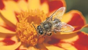 Local authorities: busy enough in the battle for Ireland's bees?