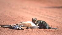 Cats in the crosshairs: Australia deadly serious about cat culling