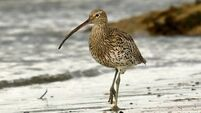 Curlew task force is on a mission to restore threatened wader bird