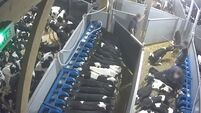 Minister for Agriculture 'appalled' by treatment of exported calves in recent footage