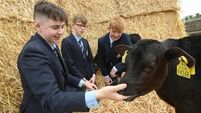 Five schools take on calf rearing task