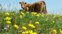How winter grazing by suckler cows protects the Burren's summer flowers