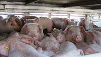 Air travellers warned of Swine Fever risk to pigs