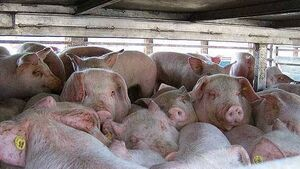 Pig farmers urged to join efficiency programme