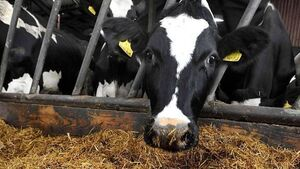 Findings from US research will give heart to cattle farmers worldwide