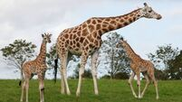 Fota names two new arrivals after  brave swimmer Paraic