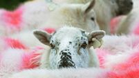 Sheep thief rustled by  lamb's love  for owner