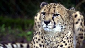 Cheetahs survived ice age but may be extinct by 2030