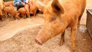 Man charged with handling stolen pigs