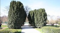 Yew trees are ancient friends