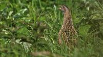 The corncrake: Our own 'Abominable Snowman'