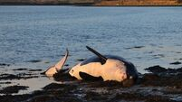 Killer whales washed ashore in Ireland absorbed toxic pollutants