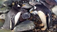 Ireland's first gay penguins make perfect match