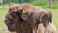 Fota Island returns two rare young bison to the wild