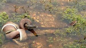 Snake  swallows  crocodile whole after lengthy battle