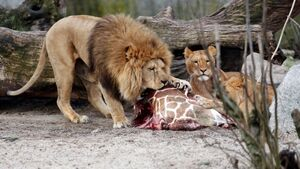 Copenhagen Zoo puts down lions after feeding them Marius the giraffe