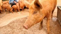 QUIRKY WORLD ... Audiences flock to farm to see pigs fly