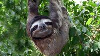 Quirky World ... First baby sloth born in London Zoo