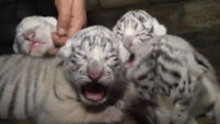 Video: Four rare white Bengal tigers born in zoo