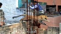 Leopard prowls through cinema and hospital