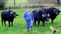Ireland's only buffalo milk producing farm is an animal of a different kind