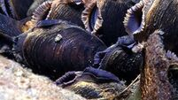 Pearl mussel project will bring €3.8m to Kerry