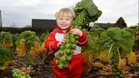 Brussel sprout farmer takes on more acreage as demand for seasonal vegetable soars
