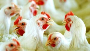 Rise in contaminated chickens sold