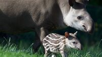 Zoo pleads guilty to safety breach over tapir attack
