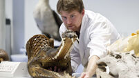 Meet an alligator's cousin on Culture Night in UCC