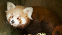 Bear necessity: Red panda cub in search of name