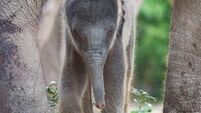 Elephant calf continues baby boom at zoo