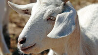 Goats feel climate change effects