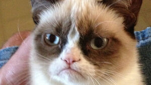 The cat's meow as Grumpy Cat earns €83m in two years