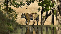 How to earn your stripes, tailing tigers in India