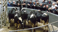 Solid demand holds for quality animals, despite the distraction of events elsewhere