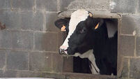 Dry cow mastitis treatment still vital procedure
