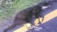 Probe after road markings painted over dead cat in Kerry
