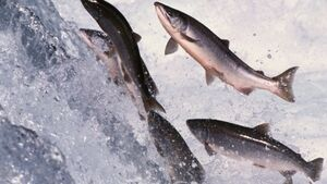 Breeding salmon to resist sea lice can cut chemical use