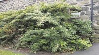 VIDEO: Knotweed is a growing scourge on the environment